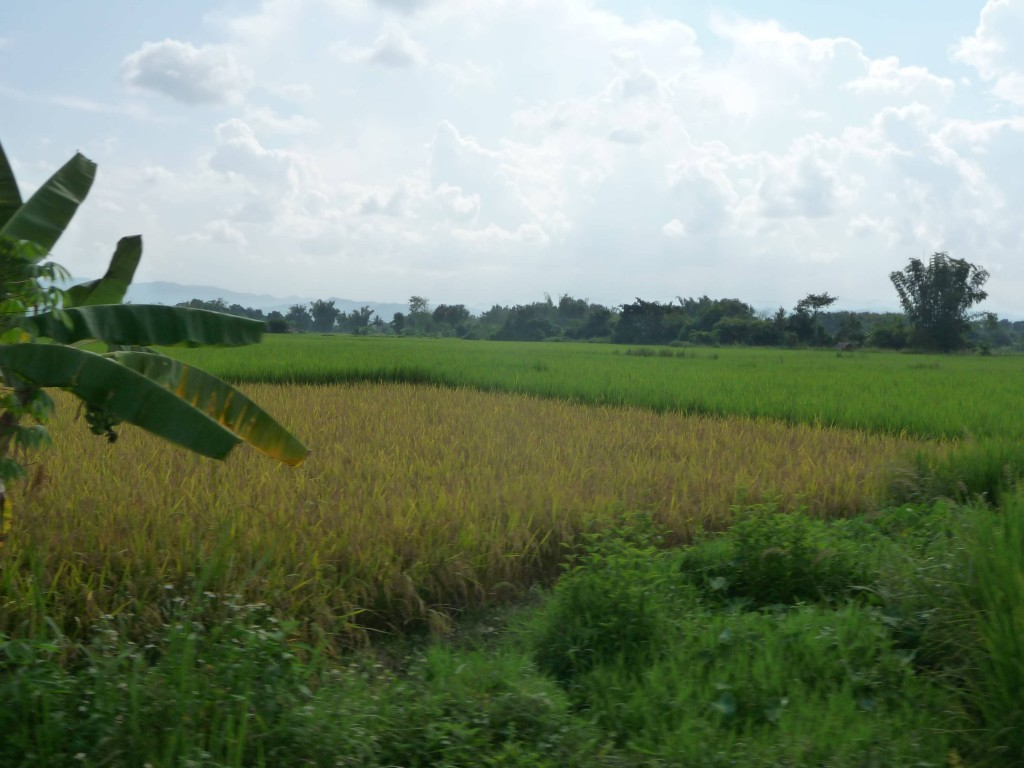 Changing Rice fields in Luang Namtha