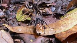 Jungle wildlife - giant wasp and spider in Luang Namtha, Laos
