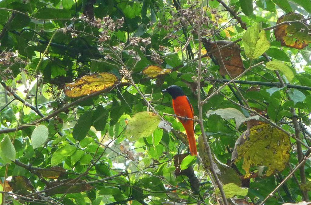 Red bird Doi Inthanon