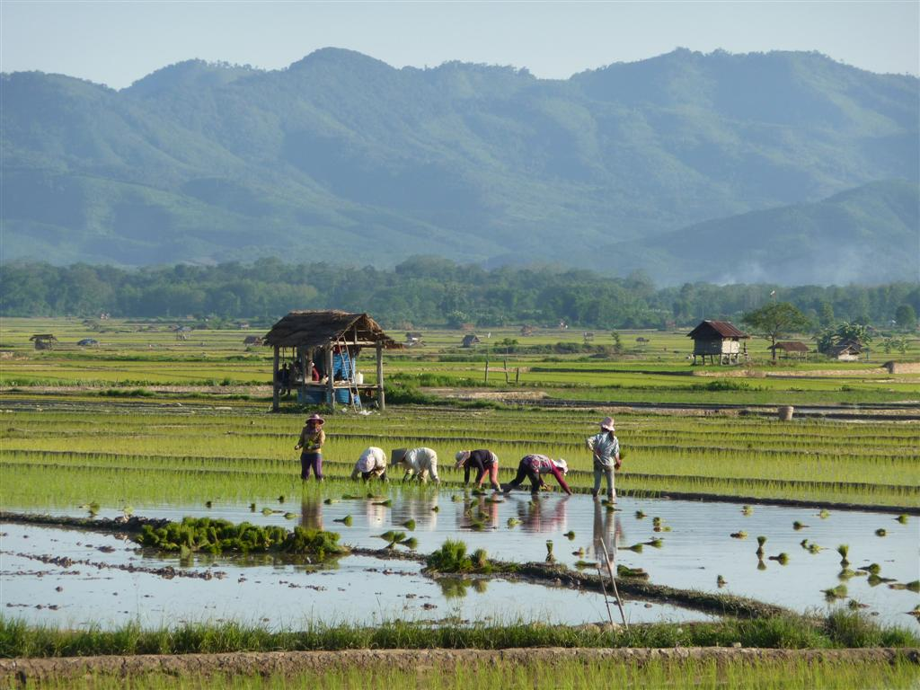 Luang Namtha rice fields
