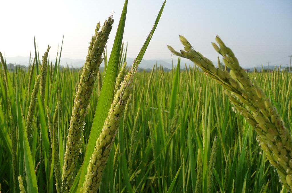 Luang Namtha Rice