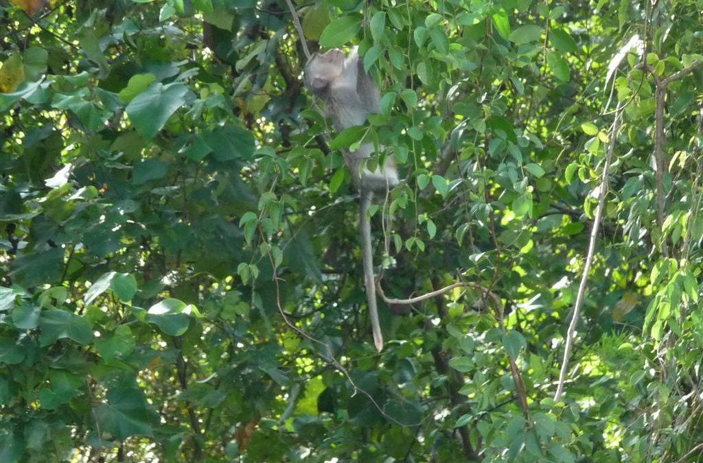 Monkeys in Trat