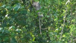 Monkeys in Trat