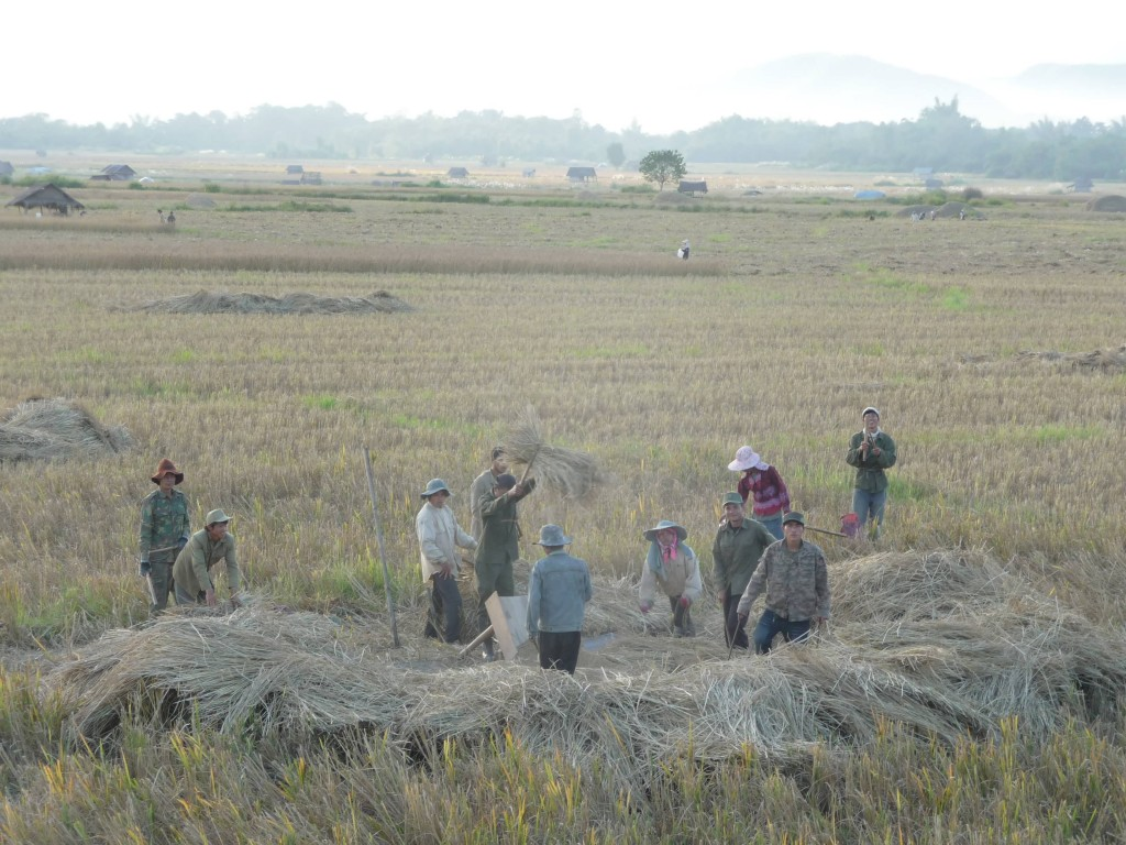 Luang Namtha harvesting the rice