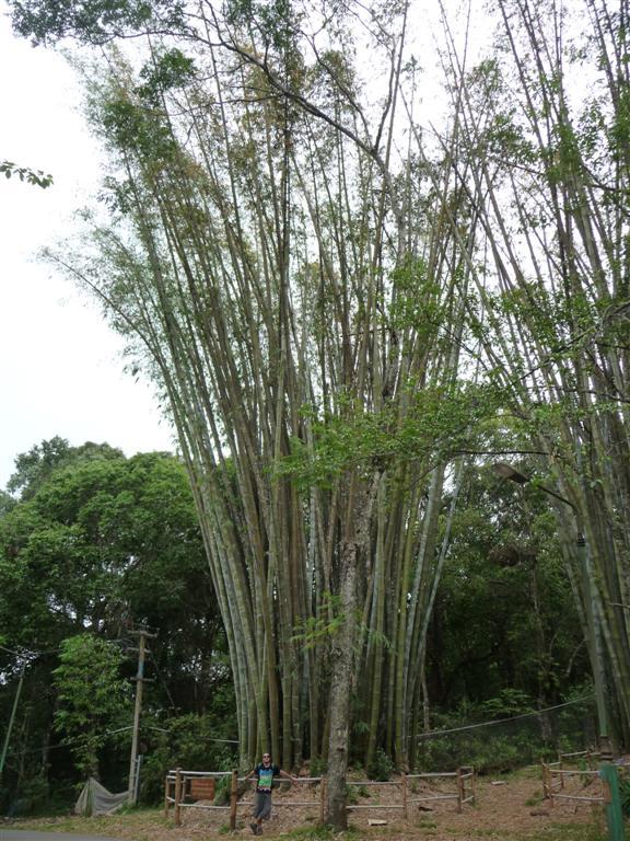 Giant Bamboo in Bhubing Palace, Chiang Mai