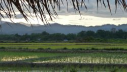 Sticky rice growing in Luang Namtha