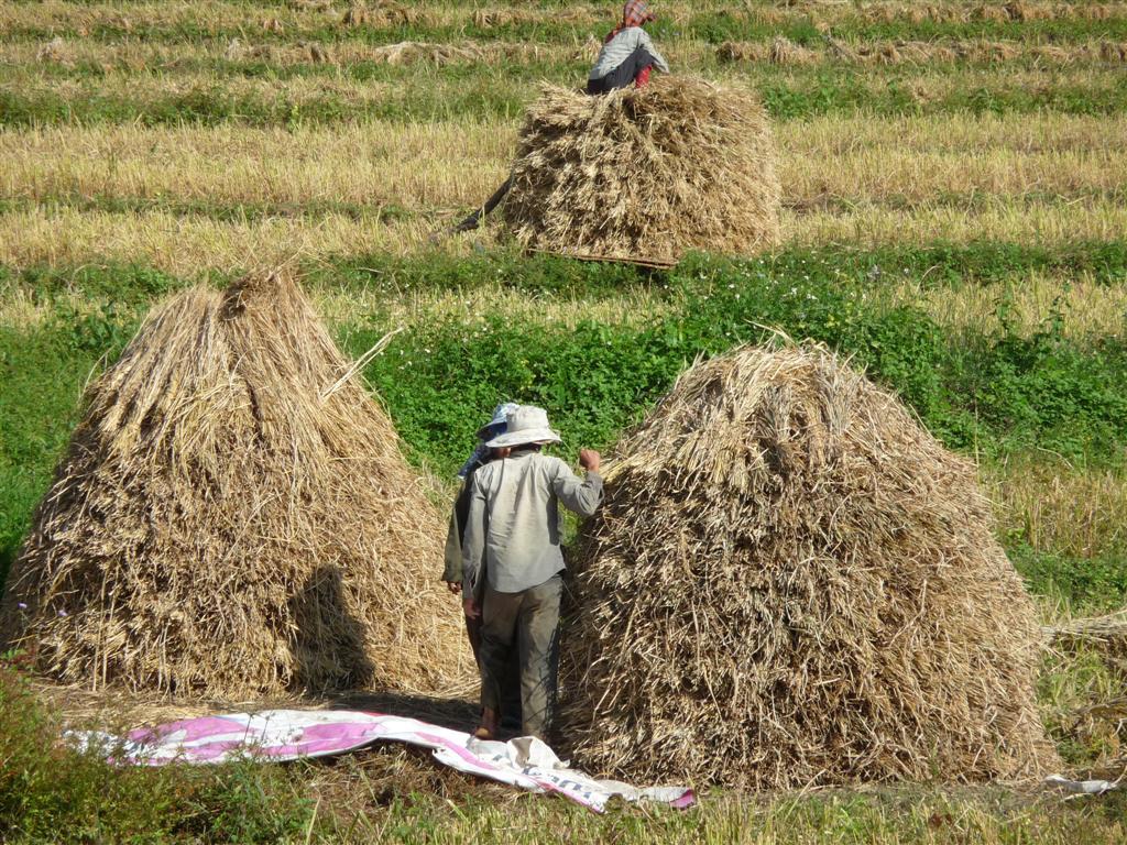 Rice harvest Luang Namtha