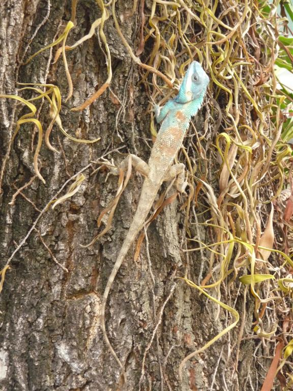 Cool lizard we found wandering Mae Hong Son