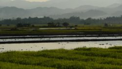 Rice fields Luang Namtha