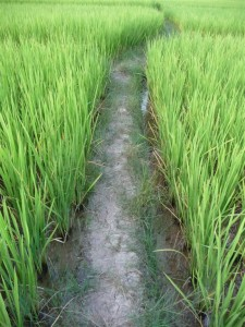 Pathways in the rice fields are a good challenge for this month